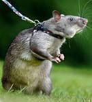 И ещё о крысах